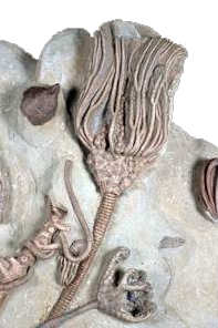 Fossilized Crinoid